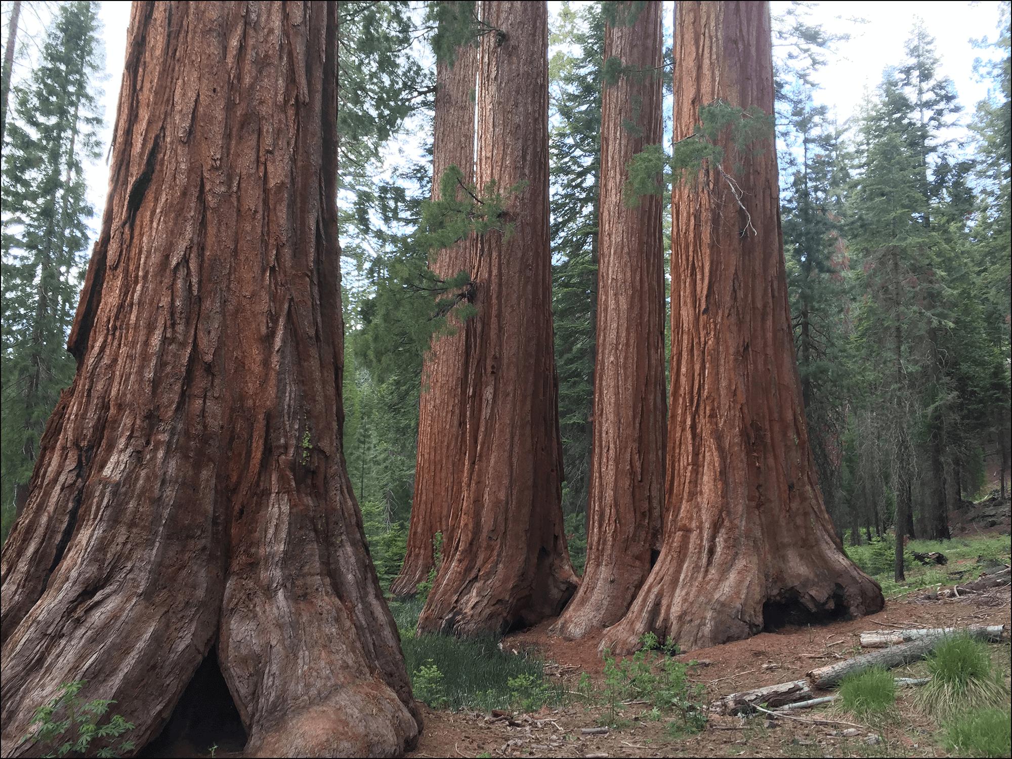Mammutbäume Sequoias in Yosemite National Park