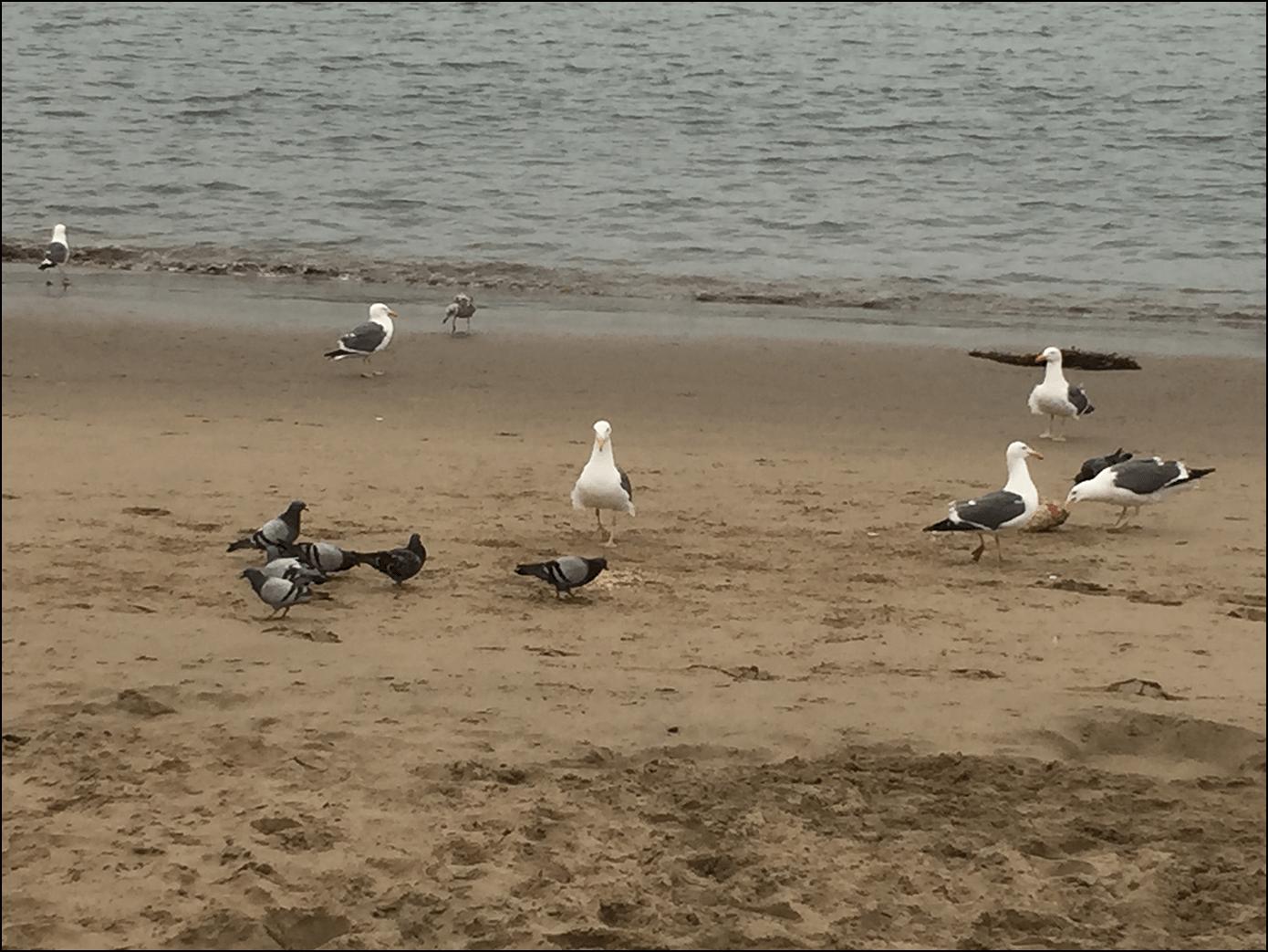 Möwen am Strand von San Francisco